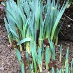 Daffodil bulbs February